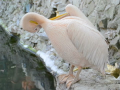 The pelican cleans feathers. Related clips are in my portfolio in 1920x1080. Stock Footage