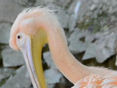 Pelicans in a zoo. Related clips are in my portfolio in 1920x1080. Stock Footage