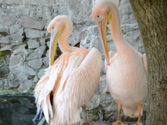 Pink pelicans in a zoo. Related clips are in my portfolio in 1920x1080. Stock Footage
