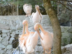 Pink pelicans. Related clips are in my portfolio in 1920x1080. Stock Footage