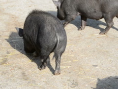 Little pigs. Related clips are in my portfolio in 1920x1080. Stock Footage