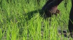 Haitian Farmer Pulls Rice Stock Footage