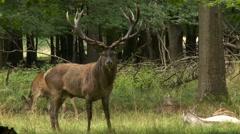 European Red Deer Stock Footage