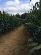 Corn Maze - stock photo