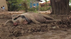 People pass Haitian Pig Stock Footage