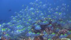 Huge school of sergeant majors swarming on the reef Stock Footage