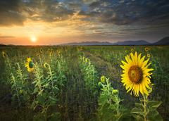 Beautiful land scape sun set with yellow sunflowers blooming in agriculture f Kuvituskuvat