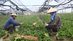 Farmers harvest aromatic vegetables, Asia Stock Footage