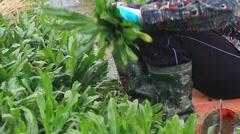Farmers harvest aromatic vegetables,Asia Stock Footage