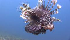 Close up of lion fish against vivid blue water background Stock Footage