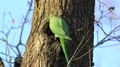 Rose-ringed Parakeet, Psittacula krameri, perched on a tree branch Stock Footage