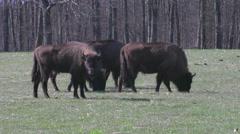 European Bison (Bison bonasus) Stock Footage