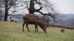 Red deer - stock footage