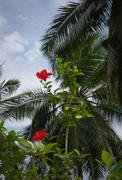 Stock Photo of red hibiscus flowers and palms