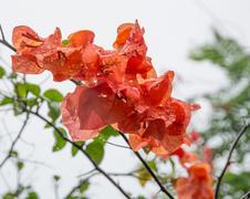 orange color bougainvillea - stock photo
