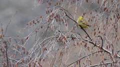 Yellowhammer on a branch Stock Footage