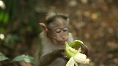 Little cute monkey eating a banana at sunset Stock Footage