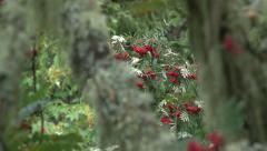 Rowan berries (Sorbus aucuparia) Stock Footage