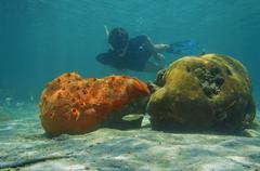 Man snorkeling underwater behind sponge and coral Stock Photos