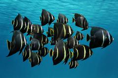 School of tropical fish french angelfish Stock Photos