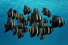 school of tropical fish french angelfish - stock photo