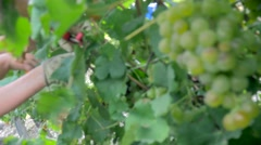 Grape harvest close up hands - stock footage