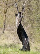 burnt tree - stock photo