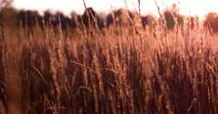 Wheat field glowing in sunset 4k Stock Footage