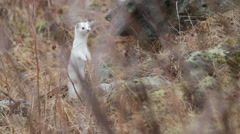 A stoat is standing up Stock Footage