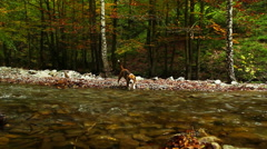 Beagle is hunting near mountain river in autumn period - stock footage