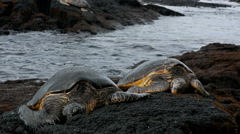 Snoozing Green Sea Turtles Stock Footage