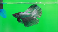 Feeding siamese betta fish - stock footage