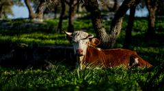 Large size bull on the green grass looking at the camera with natural light Stock Photos