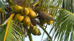 Coconuts in a tree - stock footage