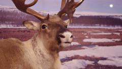 Reindeer and moon. Stock Footage
