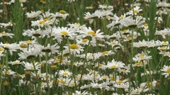 Field daisy, Leucanthemum vulgare - eye level Stock Footage