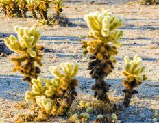 beautiful cholla cactus garden in joshua tree national park - stock photo