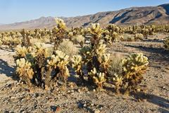 Beautiful cholla cactus garden in joshua tree  national park Stock Photos