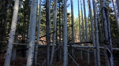 4K Fallen Tree Crisscrosses Aspens Stock Footage