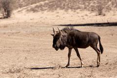 Wild wildebeest gnu Kuvituskuvat