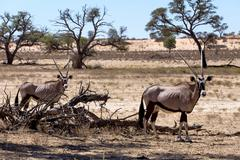 gemsbok, oryx gazella - stock photo