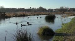 Variety of Ducks swimming past on flooded marshland Stock Footage