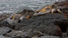 2 Snoozing Sea Turtles Stock Footage