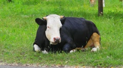Black and white cow is resting and feeding green grass. farm. cattle. farming Stock Footage