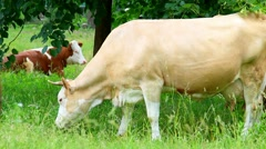 Two cows. one cow is resting and another brown cow is feeding green fresh grass. Stock Footage