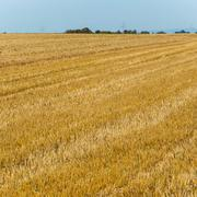 acres after harvest are looking golden in the sun with blue sky - stock photo