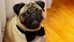 Close up of cute pug dog. portrait of pet Stock Footage
