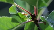 Stock Video Footage of Fruit fly sitting on a leaf grooming its proboscis