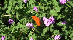 Gulf fritillary butterfly feeds on lantana flowers Stock Footage