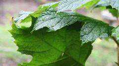 Oakleaf hydrangea in rain Stock Footage